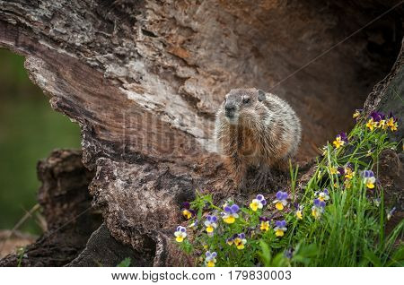 Young Woodchuck (Marmota monax) Head Up in Log - captive animal