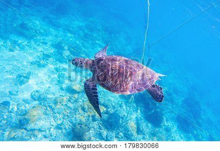 Sea turtle in ocean water. Olive green turtle in natural environment. Wild nature of tropical seashore. Sea tortoise underwater photo. Seaside animal above the coral reef. Wildlife of exotic island
