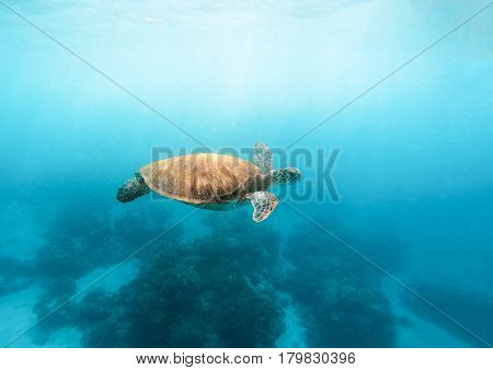 Sea turtle in turquoise blue water. Wild green turtle in tropical lagoon. Snorkeling with marine animal. Wild sea tortoise in lagoon. Sea environment with plants and animals. Oceanic life protection.
