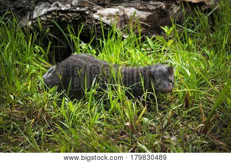Adult American Mink (Neovison vison) Walks Through Grass - captive animal