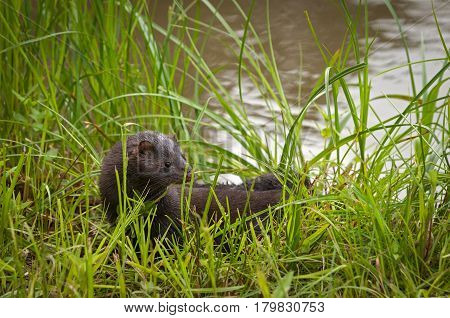 Adult American Mink (Neovison vison) Stands in the Grass - captive animal