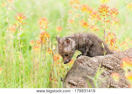 Red Fox (Vulpes vulpes) Kit Looks Down from Log - captive animal