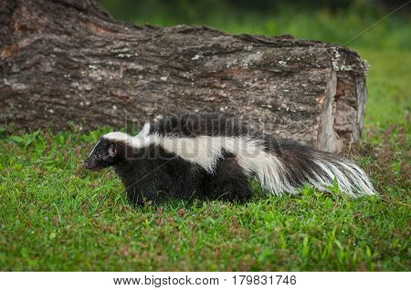 Striped Skunk (Mephitis mephitis) in Front of Log - captive animal