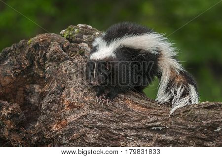 Striped Skunk (Mephitis mephitis) Perches on Log - captive animal