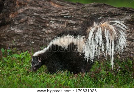 Striped Skunk (Mephitis mephitis) Sniffs in Grass by Log - captive animal