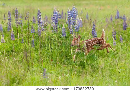 White-Tailed Deer Fawn (Odocoileus virginianus) Runs Past Lupin Patch - captive animal poster