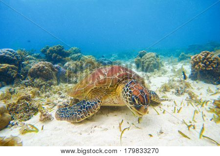 Sea tortoise eating seaweeds on sand bottom. White coral sand and coral reef. Tropical lagoon environment with sea animals. Olive green turtle in wild nature. Snorkeling with turtle underwater photo