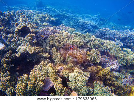 Underwater landscape with tropical fish. Clownfish and Surgeonfish between corals and sea plants. Seashore ecosystem with coral fish. Colorful coral reef scene with undersea inhabitant. Marine animals