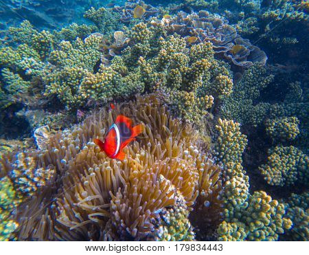 Tropical Clown fish in pink actinia. Red clownfish and sea plant. Orange clown fish with red fins. Cute marine animals. Coral reef species of exotic island seashore. Clownfish in shallow sea water
