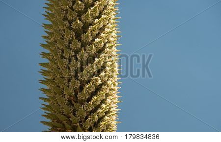 Detail of a flowering Puya Raimondii, an endemic plant of Peruvian highlands. Also known as Queen of the Andes. With copyspace on the right.