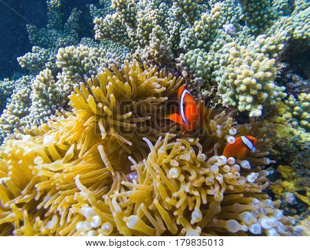 Tropical fish in coral reef. Orange clownfish in yellow actinia. Cute clown fish underwater. Marine animal and plant symbiosis. Coral reef ecosystem with exotic animal species. Clownfish in nature