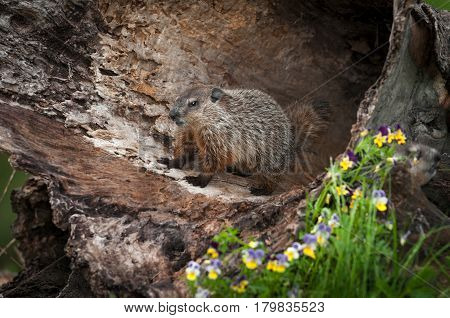 Young Woodchuck (Marmota monax) Stands Inside Log - captive animal