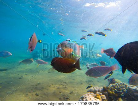 Underwater seaview with tropical fish school. Young coral formation and coral fish shoal. Butterflyfish parrotfish surgeonfish. Aquarium fish in wild nature. Exotic island seashore. Undersea photo