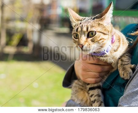 First going out. Kitten on a leash outdoor. Woman is holding cat on hands.