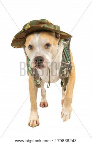 Dog in military attire isolated on a white background