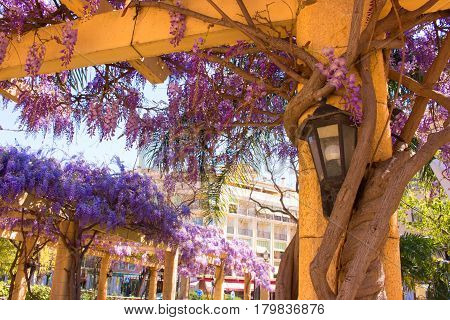 Acacia. Beautiful flowers. Park. Violet plant. Garden.