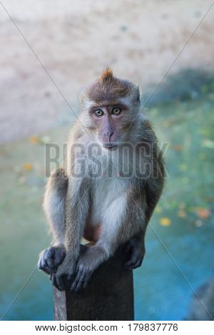 Adult Long-tailed or Crab-eating macaque portrait, Krabi, Thailand.
