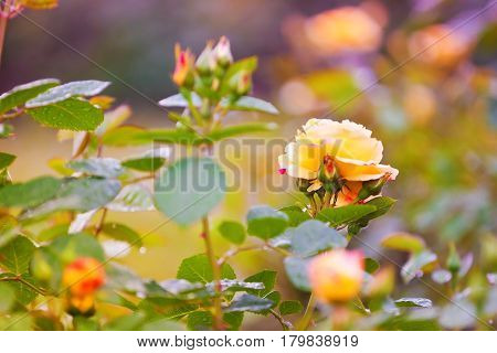 Blossoming Yellow Roses At Sunset