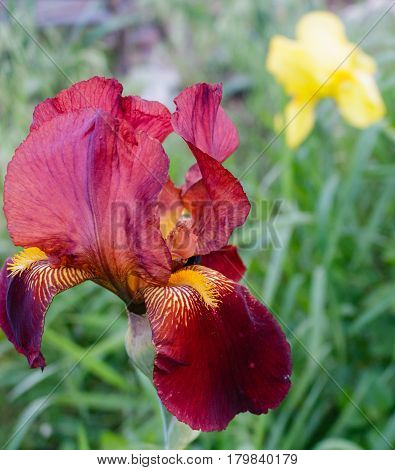 Stunning bearded burgundy iris flower with yellow iris in background field.