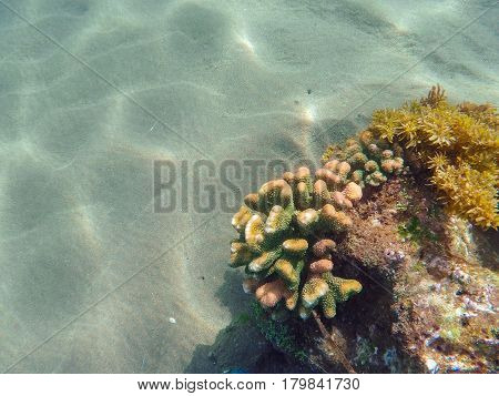 Coral reef formation on the sea bottom. Young coral formation on sand seabottom. Coral reef underwater photo. Snorkeling or diving banner template with text place. Summer vacation activity in seashore