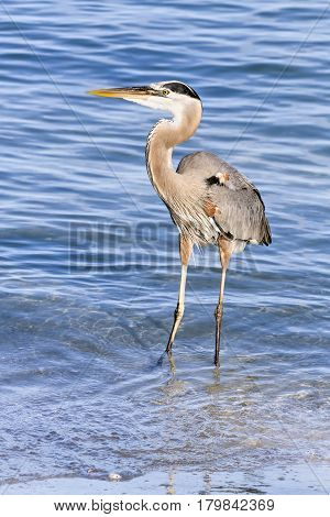 A great blue heron Ardea herodias wades in the blue waters of the Gulf of Mexico near Treasure Island Florida.