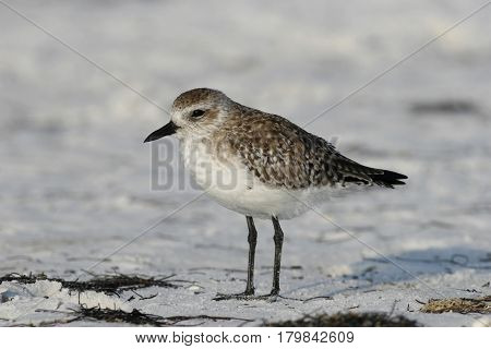 A Black-bellied Plover, pluvialis squatarola in early spring on a beach in Florida