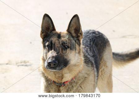 Female German Shepard Dog outside standing waiting