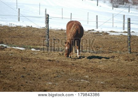 brown horse hay  fence snow  post  eating