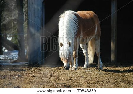horses white main  eating  stable  hay  tail