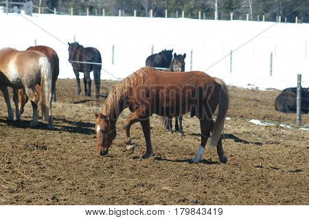 brown horse horses snow  fence hay eat