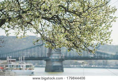 Blooming tree at Danube Pest embankment in Budapest, river and Chain bridge at background on sunny spring day