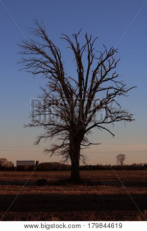 Baron Tree Framed in Farm Land at Sunset
