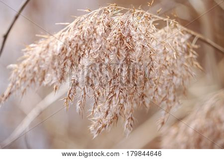 Pampas Grass close up blowing in the wind