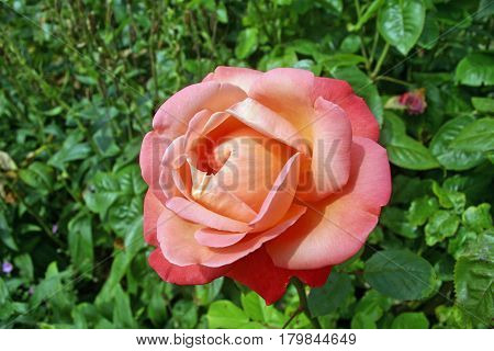 Pink standard rose flower suffused with orange. Background of rose and other leaves.