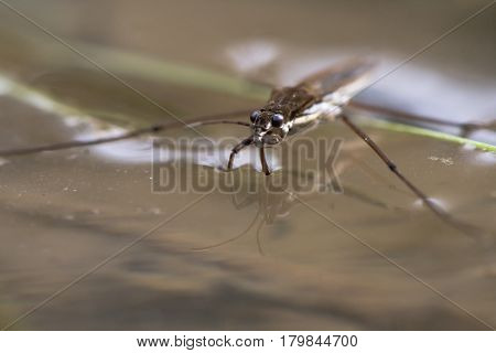Common pond skater (Gerris lacustris). Aquatic bug aka common water strider on surface of pond showing detail of eyes and front legs adapted to hunting