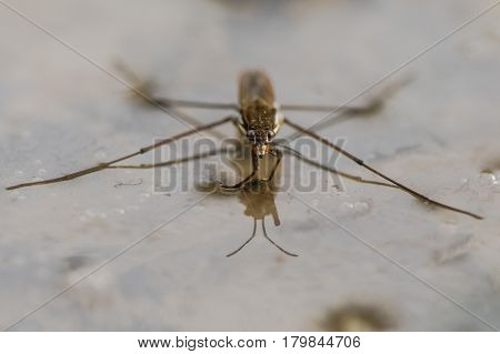 Common pond skater (Gerris lacustris) head on. Aquatic bug aka common water strider on surface of pond showing detail of eyes and front legs adapted to hunting