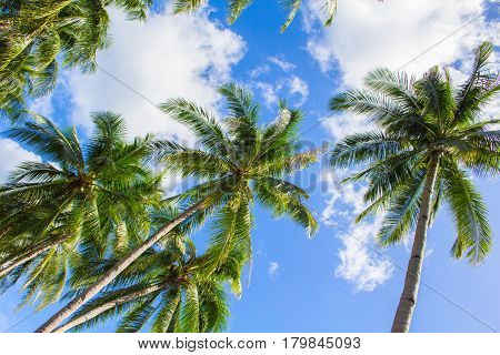 Palm tree and bright blue sky with white clouds. Tropical nature idyllic photo for banner background. Coco palms top view. Skyscape with coconut palm trees. Exotic island vacation day. Green palm leaf