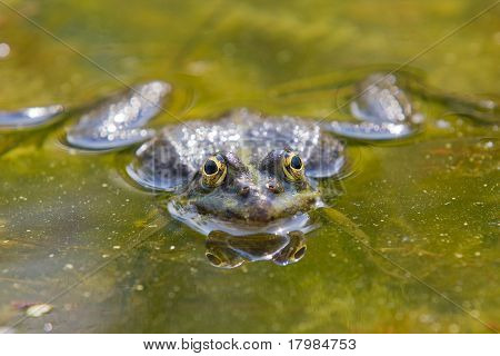 Frog in closeup