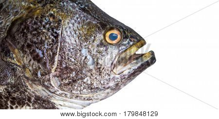 Big fish isolate. Sea fish head closeup with gills and scale texture. Grey and silver fish skin. Seafood photo banner template for eatery menu. Raw fisherman's catch. Oceanic fish on white background