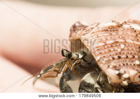 Hermit crab in sea shell macro photo. Shell with hermit crab in woman's hand. Cute animal from tropical seaside. Exotic island nature inhabitant. Beach day photo of sea crab. Tropical crayfish