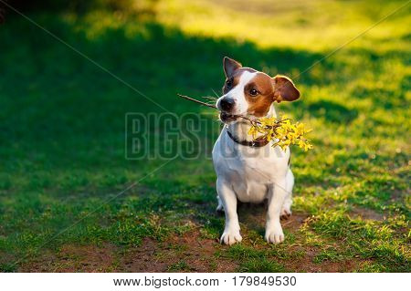 Jack Russell Terrier dog holding a yellow flower on his mouth