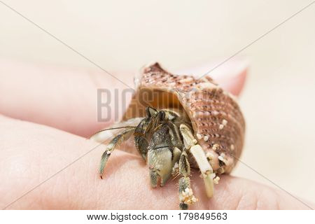 Hermit crab in pink sea shell macro photo. Shell with hermit crab in woman's hand. Cute animal from tropical seaside. Exotic island nature inhabitant. Beach day photo of sea crab. Tropical crayfish