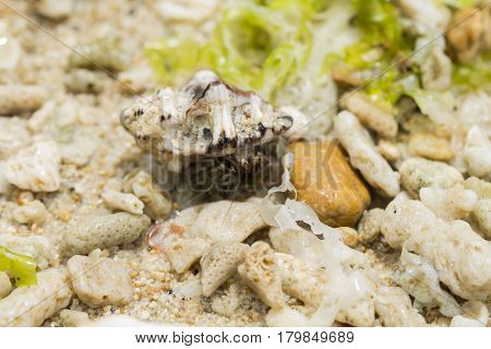 Hermit crab in sea shell on tropical beach. Hermit crab with seashell macro photo. Cute animal from tropical seaside. Exotic island nature inhabitant. Beach day photo of sea crab. Tropical crayfish