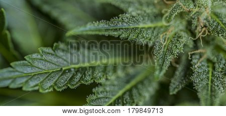 Aged dark green bloom of Serious Happiness variety of medical marijuana