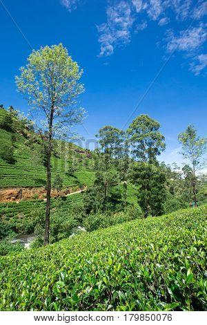 Tea plantation . Nature background
