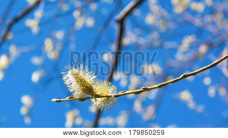 Pussy willow blooming branch. Early spring blooming trees