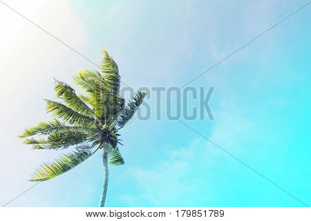 Coco palm tree on turquoise sky background. Sunny day on tropical island. Summer vacation banner template. Fluffy palm tree with green leaves. Coconut palms under sunlight. Exotic nature toned photo