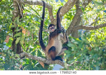 Spider monkey sitting on the tree in the middle of jungle