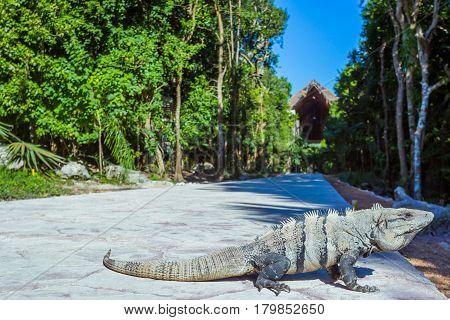 Island iguanas in wildlife. Cancun Mexico park