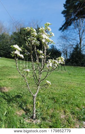 Pear tree with white blossom